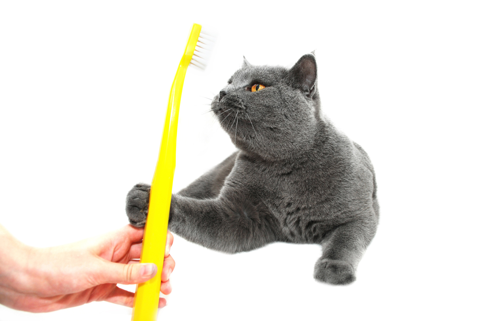 British Shorthair cat, reaching for a toothbrush