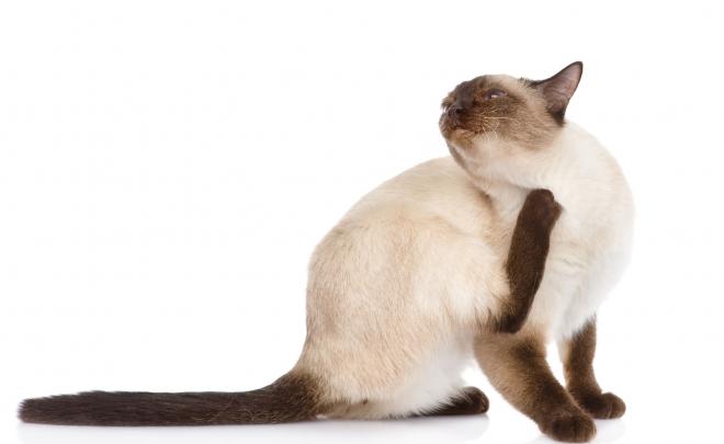 External Parasites and Cats