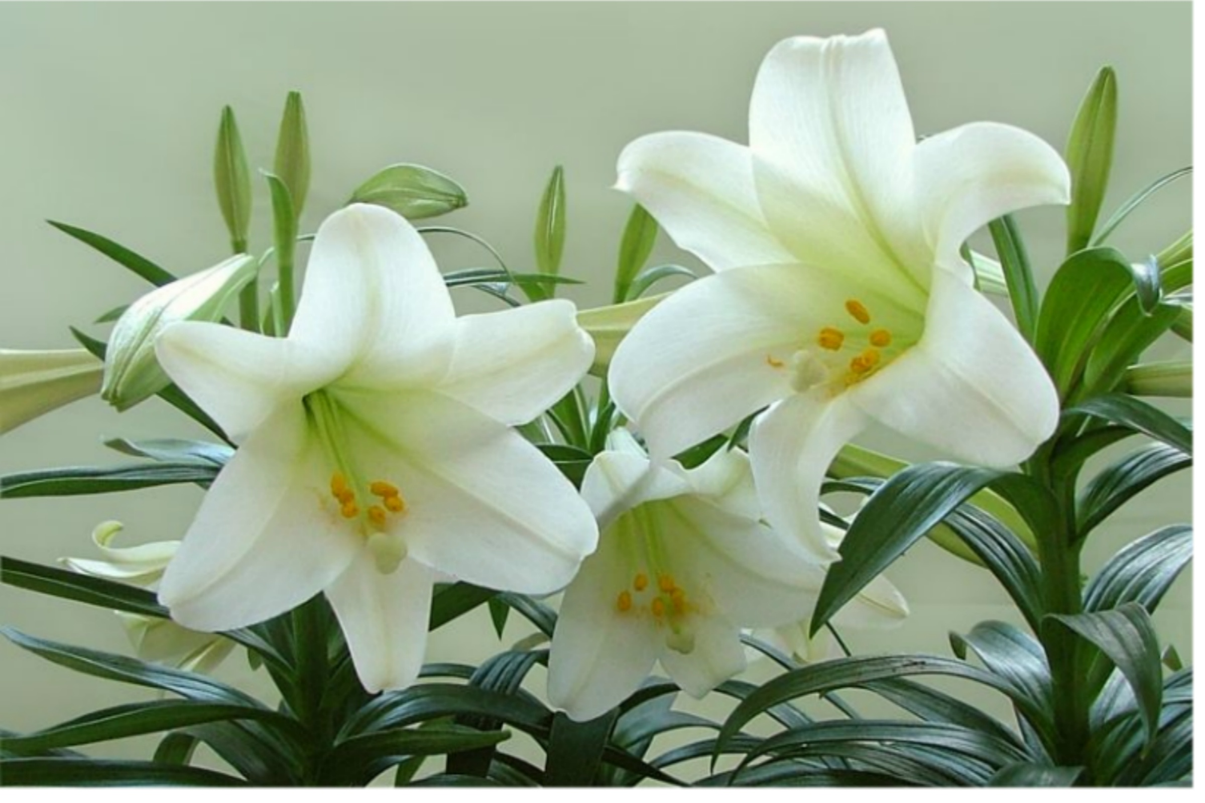 Lilies are toxic to cats nova cat clinic arlington va cat only lilies are toxic to cats izmirmasajfo Choice Image
